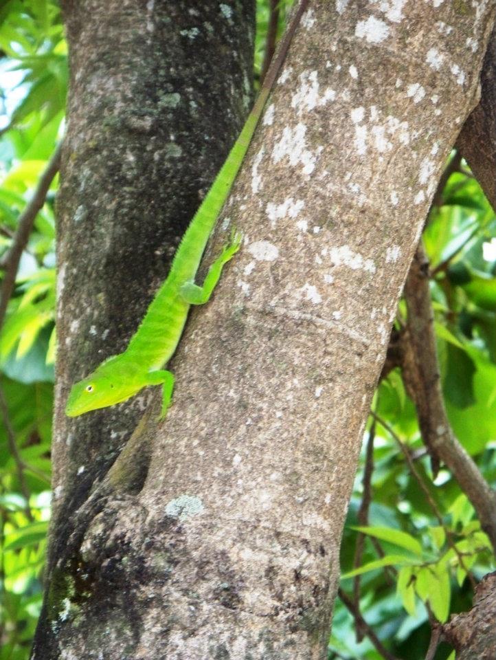 Jamaican green lizard, green anole,Jamaican giant anole