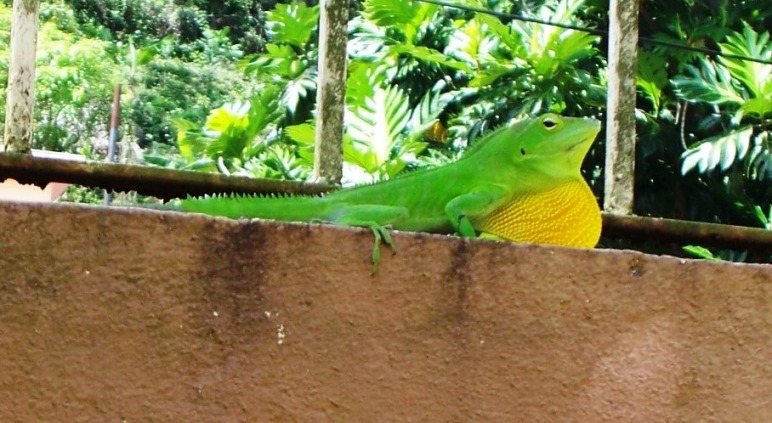 The Jamaican Green Lizard And Why Some Jamaicans Are Afraid